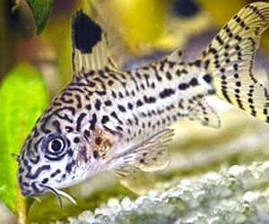 Corydora leopardo son peces agua dulce tropical muy llamativos por su parecido al leopardo