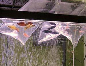 Cómo meter los peces de acuario en la pecera
