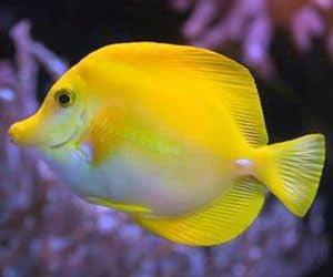 El Pez Cirujano es uno de los peces acuario marino perfecto para principiantes