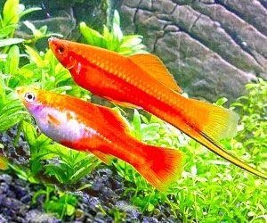 Los peces de agua caliente Cola de espada resultan muy atractivos