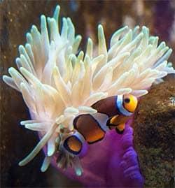 El pez payaso es un clásico de los acuarios marinos para principiantes