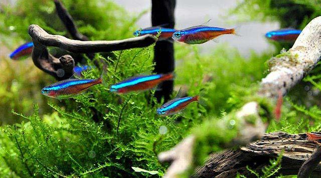 Tipos de Acuario Plantado: plantados acuarios Low Tech y plantados acuarios Hi Tech