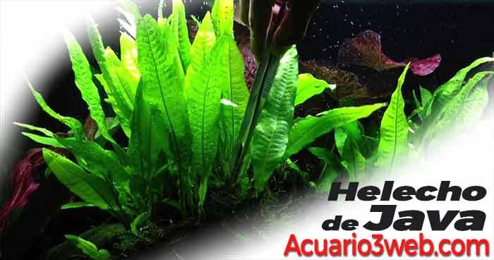 guía de cuidados del Helecho de Java - Microsorum pteropus