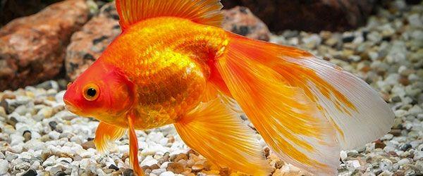 Tienes que aclimatar los goldfish al acuario