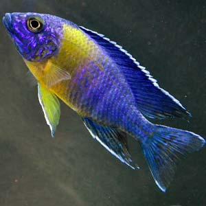 Espectacular pez tropical Aulonocara Maulana