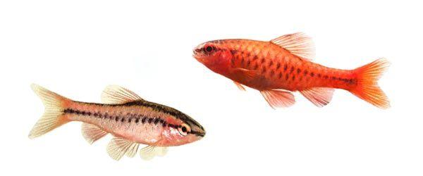 El barbo cereza pez de agua dulce perfecto para principiantes
