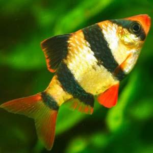 Barbo tigre -Puntius tetrazona- en un hermoso pez de agua dulce caliente para el acuario