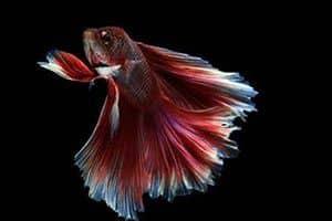 Betta splendens: peces de acuario agua fría