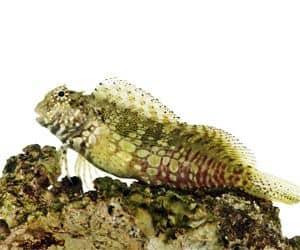 Blénido Enjoyado (Salarias fasciatus) pez marino tropical de arrecife