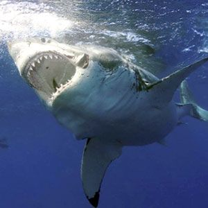 El mítico tiburón blanco (Carcharodon carcharias) es uno de esos peces peligrosos que tienen más fama que realidad