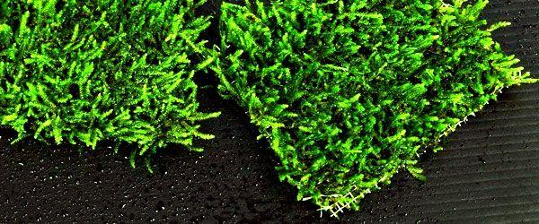 Mallas con musgo de java atado para hacer alfombras