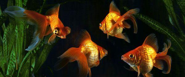 ¿Qué pueden comer los peces dorados?