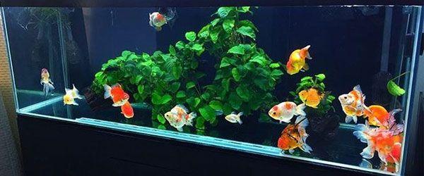 Cómo montar tu primer acuario de peces dorados