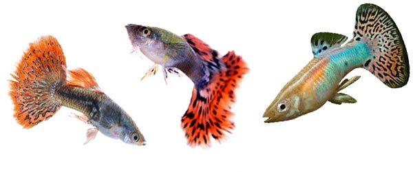 No alimentes a tus peces guppys con un solo tipo de alimento, ya que esto provocará deficiencias de nutrientes. Debes alternar entre alimentos en escamas, alimentos vivos/congelados y vegetales.