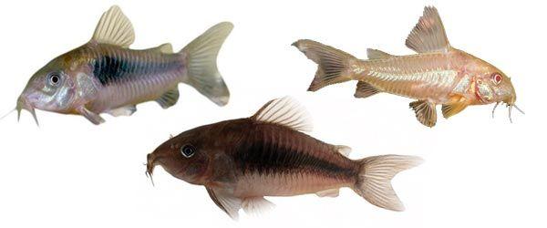 Las Corydoras son peces muy habituales en la mayoría de los acuarios de agua dulce. Son fáciles de cuidar, tranquilos y pacíficos pero activos.