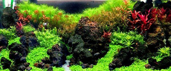 Espectacular acuario con una exuberante alfombra creada con Hemianthus Callitrichoides