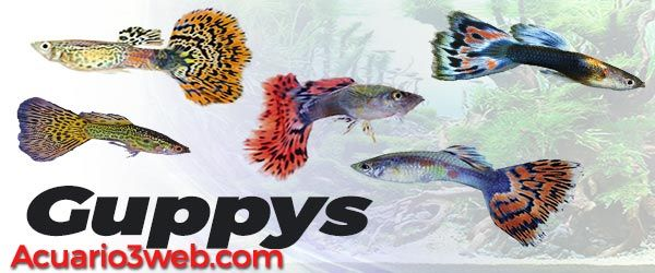 Guía paso a paso para principiantes con los conocimientos fundamentales para cuidar con éxito a tus peces Guppy