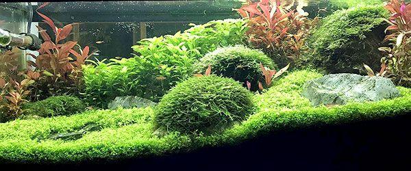 Acuario con plantas de musgo de Java creciendo