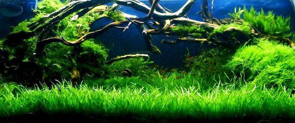 Un acuario plantado de Césped Acuático