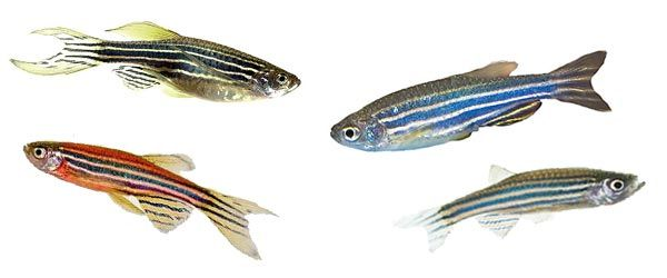 El Danio cebra es uno de los peces de agua dulce más indicado para los principiantes, ya que es muy fácil de cuidar y es uno de los peces más resistentes