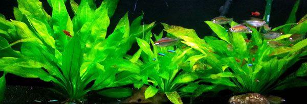 Planta para acuario: Espada Amazonica (Echinodorus Bleheri)