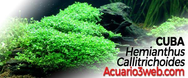 Cuba - Hemianthus Callitrichoides