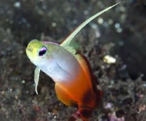 gobio dardo de fuego (Nemateleotris magnifica) es muy tímido y no saldrá de su escondite a menos que se sienta seguro