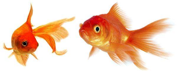 Uno de los peces más comunes en la afición del acuario es el goldfish o pez dorado