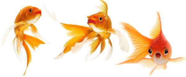 Hay muchas variedades diferentes de peces dorados, y está bien mezclarlos siempre y cuando no sean razas que compitan entre sí por la comida.