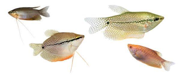 uno de los peces de agua dulce más populares para los amantes de los acuarios, gracias a su hermosa apariencia y su resistencia