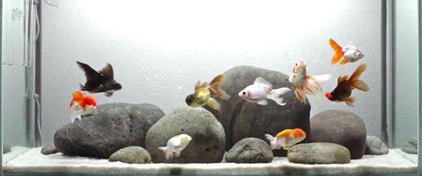 La guía de cuidados del pez dorado comienza por la compra de los peces y su establecimiento en cuarentena