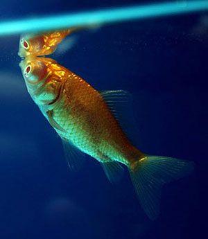 carassius auratus: Los primeros peces de la práctica acuariófila