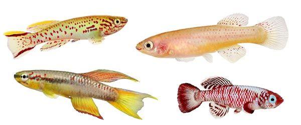 Son peces de agua dulce que se adapta a casi todas las condiciones de los tanques