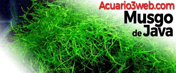 Guía sobre el Musgo de Java - Taxiphyllum Barieri