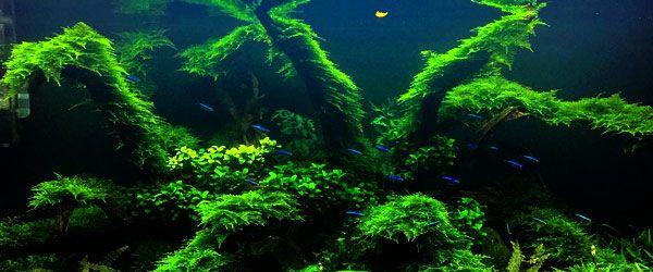 Espectacular acuario de aquascaping con Taxiphyllum barieri creciendo vigorosamente