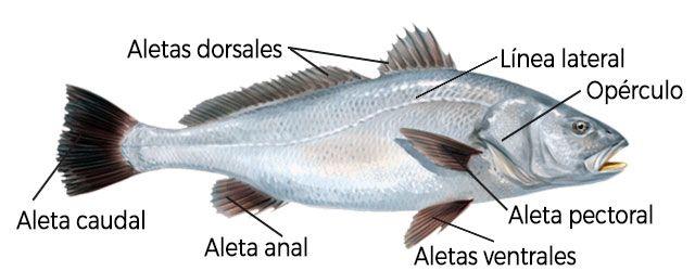 Información sobre peces: El pez y sus partes