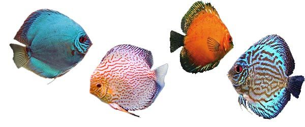 Los peces disco no son recomendables para principiantes, y en su lugar sólo deben ser mantenidos por acuaristas experimentados