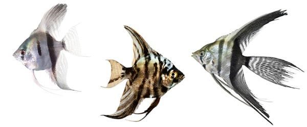 El pez Ángel o Escalar es un pez de agua dulce muy común entre los aficionados a los acuarios.