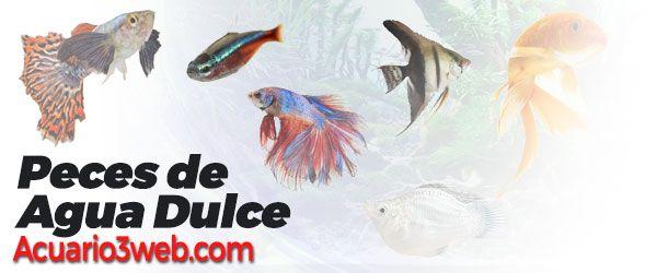 Lista con los peces de agua dulce más utilizados en la afición a los acuarios