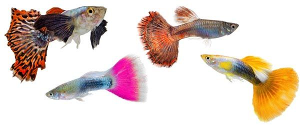 El pez guppy es muy fácil de cuidar, lo que lo convierte en uno de los peces de agua dulce más adecuado para los principiantes.