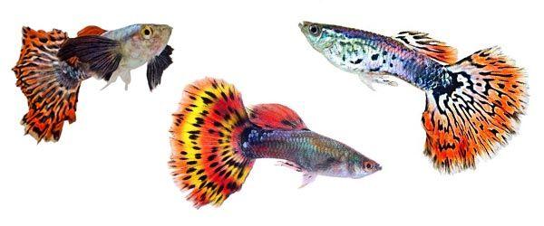 Hay muchas variedades de peces Guppy debido a que los criadores crean nuevas variedades con colores más brillantes y más patrones en sus cuerpos y colas