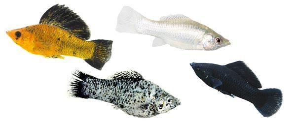 Los peces Molly son  ideales para principiantes porque son extremadamente resistentes y no son tan agresivos como otros peces tropicales.