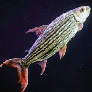 pez tigre (Hydrocynus vittatus)