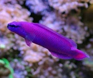 Perca enana de Fridman (Pseudochromis fridmani) son peces marinos de colores atractivos con grandes personalidades