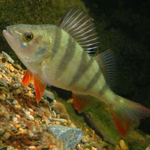 Perca Fluviatilis es otro de los peces tropicales de agua dulce para pecera