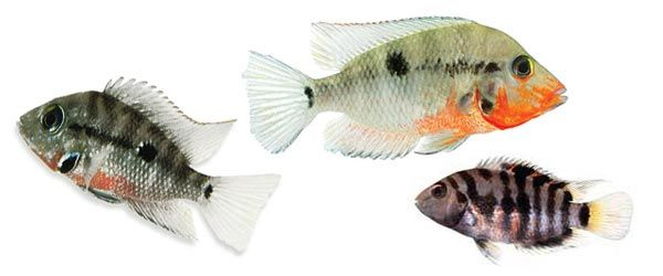 El cíclido Boca de Fuego es un pez perfecto para los nuevos acuriófilos