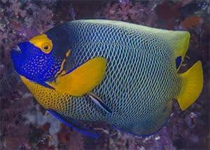 Pez ángel belleza coralina (Centropyge bispinosa)