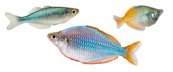 Es quizás uno de los peces menos comunes en los acuarios de peces de agua dulce