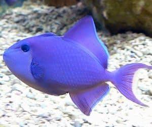 Pez ballesta (Odonus niger) Este es un pez de agua salada que puede ser agresivo hacia los peces