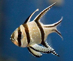 Pez cardenal (Pterapogon kauderni) tienden a ser más activos cuando las luces del acuario están apagadas